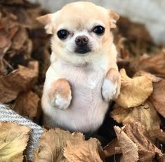 A Dogs Communication – Could Your Dog be Trying to Tell You Something? Chihuahua Puppies, Cute Puppies, Cute Dogs, Teacup Puppies, Chihuahuas, Cute Animal Pictures, Dog Pictures, Cute Little Animals, Dog Photos