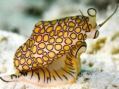 Flamingo Tongue sea snail! I ve never seen one not attached to coral, but ....