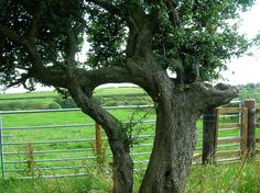 Husband and Wife trees - detail - Inosculation - Wikipedia, the free encyclopedia