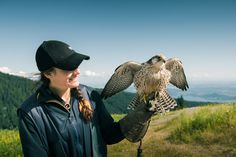 Peregrine Falcon on an expert Falconer's arm at Grouse Mountain.