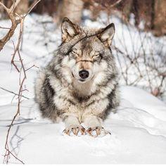 Wolf enjoying the Sunshine.....