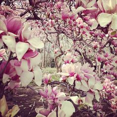 Central Park today.  Magnolias galore.