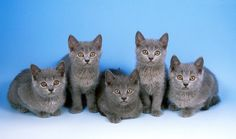 Everything you want to know about Chartreux including grooming, health problems, history, adoption, finding a good breeder and more.