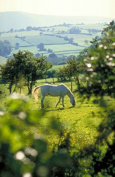 HORSE IN THE FIELD, Golden Valley, Hereford & Worcester, England.