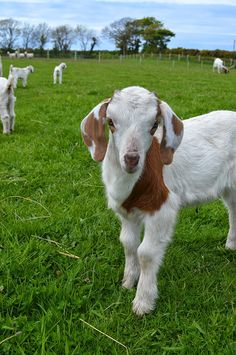 A Visit to Isle of Man Goats   Lovely Greens