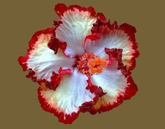 Best Types Of Exotic Tropical Flowers For Your Home And Garden Hibiscus Hawaiian Flowers, Hibiscus Flowers, Tropical Flowers, Tropical Plants, Colorful Flowers, Lilies Flowers, Tropical Landscaping, Purple Flowers, Unusual Flowers