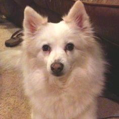 This is my American Eskimo, Blanca