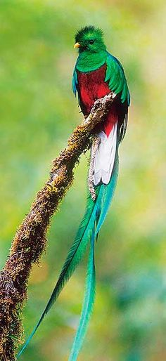 Quetzal- found in cloud forests.  I saw one of these in Costa Rica, but my picture was not this good :)