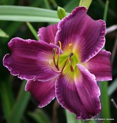 INDIAN GIVER ... looks like an orchid! Stunning!