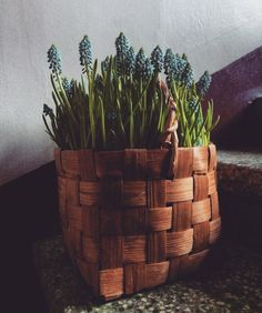 Muscari in a wooden basket