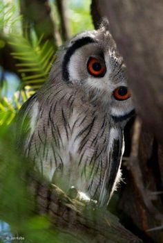 Photography by © (Jan Kolbe). Spotted this small southern whitefaced owl in a tree at a campsite in the Kgalagadi Transfrontier Park, South Africa. These owls have black-tipped 'ear' tufts and usually lay their eggs in the old nests of other birds. Owl Photos, Owl Pictures, Beautiful Owl, Animals Beautiful, Animals And Pets, Cute Animals, Owl Bird, Pretty Birds, Cute Owl