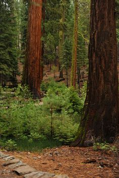 Yosemite National Forest - Mariposa Grove of Sequoia Trees  www.thisstyledwife.com
