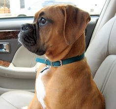 Too cute, why do they always want the driver's seat?? Adorable pic... #boxers