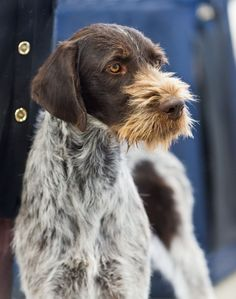 German Shorthaired Pointer German Wirehairs are very intelligent and excel at the tasks given to them. ** For more information on taking care of pet dogs, visit image link. Curly Coated Retriever, Pointer Puppies, Pointer Dog, Airedale Terrier, Rottweiler, Braque Du Bourbonnais, Pet Dogs, Dog Cat, Pets