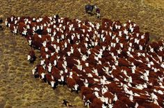 Hereford Beef Cattle | large mob of polled (hornless) Herefords are mustered off tussock ...