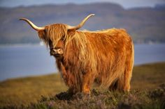 Cows have a long history of domestication, so people have had plenty of time to create cattle breeds that have some rather interesting appearances.