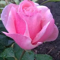 Последняя розочка в осеннем саду #beauty#flowers#nature#nice#flora#autumn#dnepr#Ukraine#myland