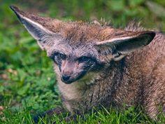 "Talk to me! I'm all Ears!"" by Krys Bailey Bat Eared Fox, Hyena, Talk To Me, Curiosity, Erotica, Kangaroo, Ears, Canvas Prints, Dog"