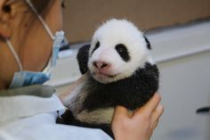 I ❤ Panda's . Twin panda cubs begin to open their adorable eyes at Toronto Zoo~ Zoo staff say the cubs can't see clearly yet, but their eyes are sensitive to light & dark Niedlicher Panda, Panda Day, Cute Panda, Panda Funny, Panda Bears, Cute Baby Animals, Animals And Pets, Toronto Zoo, Calgary