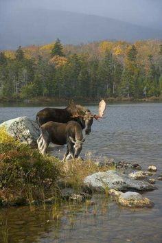 Do you know where to find moose in Maine? As a heads up in some areas moose season starts Monday. A few years back my mom n I went looking for moose for pictures not realizing it was opening day of moose hunting season Image Nature, All Nature, Beautiful Creatures, Animals Beautiful, Cute Animals, Mundo Animal, Parcs, Fauna, Pet Birds