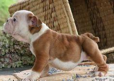mini english bulldog puppies for sale in ohio | Zoe Fans Blog