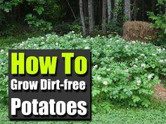 How To Grow Dirt-free Potatoes | #growyourown #potatoes