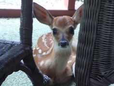 baby deer on the back porch