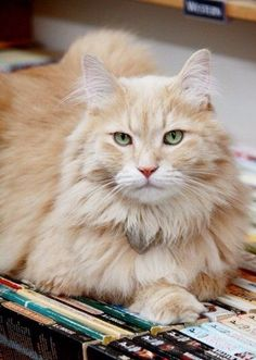 What a beautiful feline!!! I'd love to have a cat like this one!