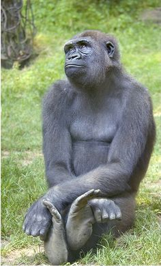 Day dreaming and contemplating life. Who says gorillas don't think and feel. Just look at that face. Wow.