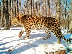 Rare Siberian leopard spotted wooing three females | Daily Mail Online