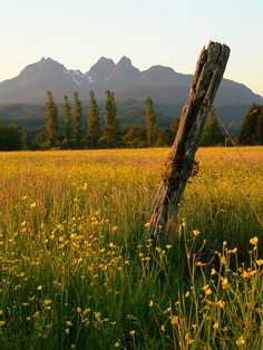 Fence post in buttercup field, Maple Ridge, BC . The field is very representative of Maple Ridge, which is a community with a strong farming heritage. The Golden Ears Mountains are in the background. Place To Shoot, Field Of Dreams, Window View, Horse Farms, The Great Outdoors, Art Images, Wild Flowers, Fields, Scenery