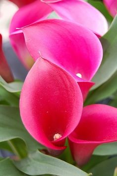 Beautiful passion pink calla lilies