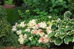 Angel's Blush Hydrangea | August garden