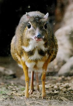Stunning Pictures Of The World's Smallest Deer Chevrotain or Mouse Deer.Chevrotain or Mouse Deer. Bizarre Animals, Unusual Animals, Rare Animals, Animals And Pets, Funny Animals, Mundo Animal, Animal 2, Beautiful Creatures, Animals Beautiful