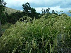 3 Chionochloa flavicans large plugs Evergreen Dwarf toetoe Perennial grass plant