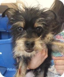 Chicago Il Affenpinscher Yorkie Yorkshire Terrier Mix Meet Pea A Dog For Adoption
