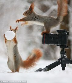 Pair of red squirrels playing with snowballs in the woods near Voronezh City, Russia.