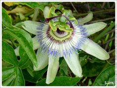 Passiflore - Passion flower
