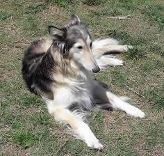 silken windhound photo | Here are a few of our beloved Silken Windhounds who have been a part ...