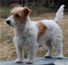Jack Russell Terrier Book Reviews: Stripping Jack Russell Terriers