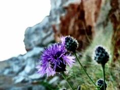 Sea Holly growing on the cliffs at Hunstanton Beach