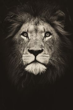 Bit of a high contrast manipulation of a stunning Male Lion I managed to photograph recently.