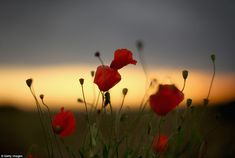Emblem: The flower became a symbol of remembrance after growing from the battlefields foll...