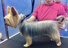 Grooming Yorkies, Dog Grooming Tips, Yorkie Cuts, Yorkie Hairstyles, Yorkshire Terrier Haircut, Yorkshire Terriers, Puppy Cut, Dog Haircuts, Yorky
