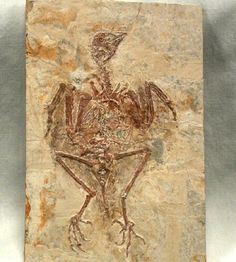 Fossil Bird - Protopteryx fengningensis with preserved Feathers  Lower Cretaceous. Yixian Formation, Liaoning Province, China