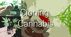 Want to know how to clone cannabis like the pros? Cloning cannabis is easy and provides great benefits. The best reasons to clone...