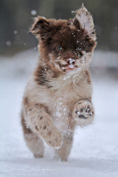 """""""Chibi loves snow"""" Crossbreed, part Pomeranian and part Tibetan Spaniel x Lhasa Apso - by SaNNaS Cute Puppies, Cute Dogs, Dogs And Puppies, Baby Animals, Cute Animals, Snow Dogs, Lhasa Apso, Wild Dogs, Happy Dogs"""