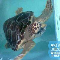 27 most votes(45)francesco fiorino_sea turtle_with logo.jpg