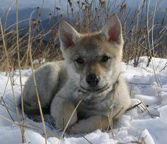 Precious Little Wolf Pup.