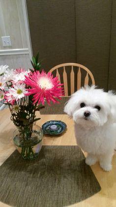 Just had my bath! Pretty Maltese!